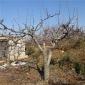 大规格梨树苗 当年结果梨树 3公分梨树 4公分梨树 5公分梨树苗 8公分 10公分梨树 盆栽梨树